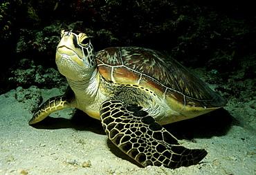 Green Turtle (Chelonia mydas) looking around inquisitively, Musandam, Oman, Arabian Peninsula, Middle East, Indian Ocean