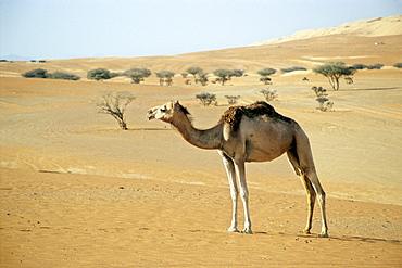 Dromedary Camel (Camelus dromedarius) in the desert in front of pines, Wahiba Sands, Oman, Arabian Peninsula, Middle East