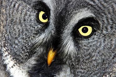 Great Gray Owl, Lapland Owl (Strix nebulosa), portrait