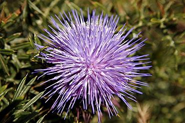 Purple thistle flower, Algarve, Portugal, Europe