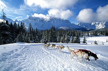 Dog sled tour along an alpine track, Sexten, Alpe Nemes, Alto Adige, Dolomite Mountains, Italy, Europe