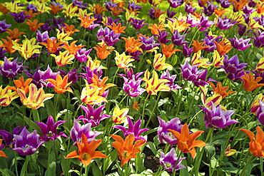 Colourful Tulips (Tulipa), tulip field, Holland, Netherlands, Europe