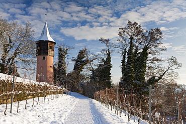 The Schwedenturm tower between grapevines in winter, Mainau Island, County Konstanz, Baden-Wuerttemberg, Germany, Europe
