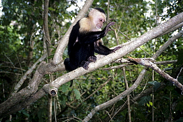 White-headed Capuchin (Cebus capucinus) in a national park, Parque Nacional Cahuita on the Caribbean coast, Caribbean, Costa Rica, Central America