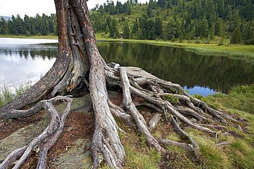 Tree roots in Gruensee, Green Lake, Turracher Hoehe, Carinthia, Austria, Europe