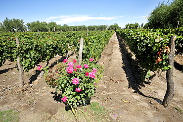 Winegrowing, Malbec grape variety, roses are used as indicators for an infestation of the vines by insects, Maipu, Mendoza Province, Argentina, South America