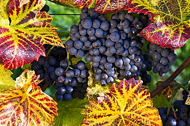 Grapevine with coloured foliage, Lake Constance, Baden-Wuerttemberg, Germany, Europe