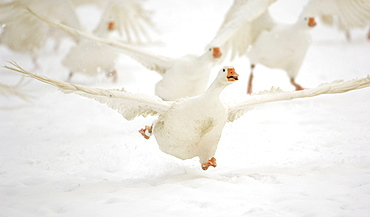 Domesticated geese (Anser anser f. domestica) taking off in winter