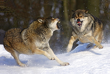 Fighting wolves in winter (canis lupus occidentalis)