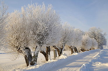 Willow trees with white frost, typical south-Swedish tree-lined road, TÂnebro, SkÂne, Sweden, Europe