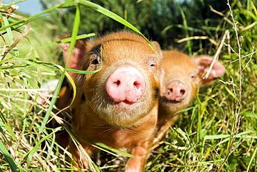 Piglets (Sus scrofa domestica) at an organic farm
