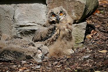 Camoflaged Eurasian Eagle Owl (Bubo bubo)