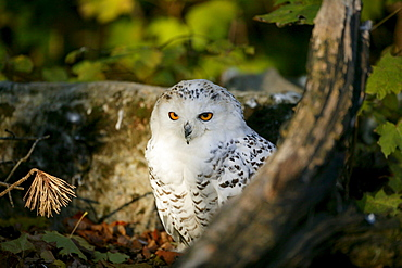 Snowy Owl, Arctic Owl or Great White Owl (Bubo scandiacus, Nyctea scandiaca), Bad Mergentheim Zoo, Baden-Wuerttemberg, Germany