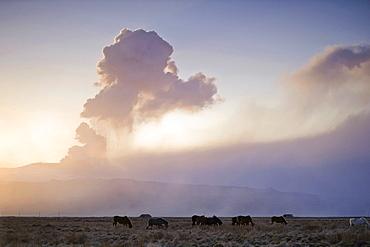 Iceland horses grazing in front of the ash cloud of the Eyjafjallajoekull volcano, Landeyjar, Iceland, Europe