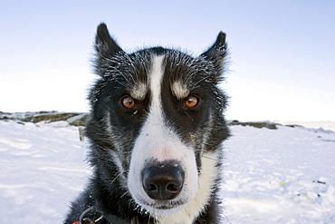 Alaskan Husky, portrait, Finnmark, Norway, Europe