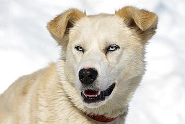 An Alaskan husky, portrait, Langfjordbotn, Alta, Finnmark, Norway, Europe