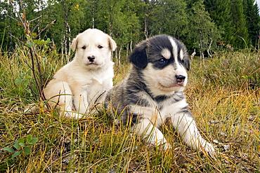 Alaskan Husky puppies, Norway, Europe