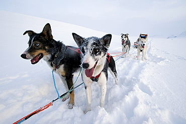Alaskan huskies, dog sled team, Finnmark, Lapland, Norway, Europe