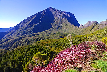 View of Mt. Piton de Neige in the Salazie volcano crater, blooming heather at front, La Reunion island, Indian Ocean