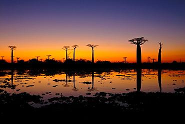 Street of baobab trees (Adansonia digitata) at sunset, Madagascar, Africa