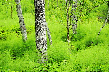 Wooded Landscape with horsetail or snake-grass, Rondane National Park, Norway, Europe