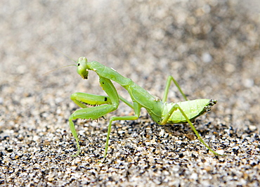 Praying Mantis (Mantis religiosa) on beach sand, Lombok Island, Lesser Sunda Islands, Indonesia