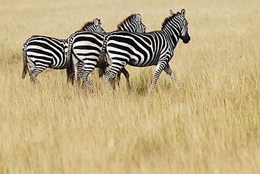Plains Zebras (Equus burchelli), Masai Mara, Kenya, Africa