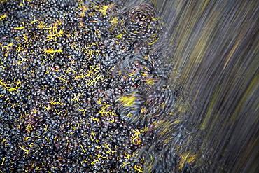 Processing of wine grapes at a winery, province of Bolzano-Bozen, Italy, Europe