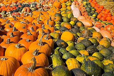 Pumpkin exhibition in Bolzano, South Tyrol, Italy, Europe