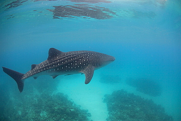 Whale shark (Rhincodon typus), Southern Leyte, Philippines, Southeast Asia