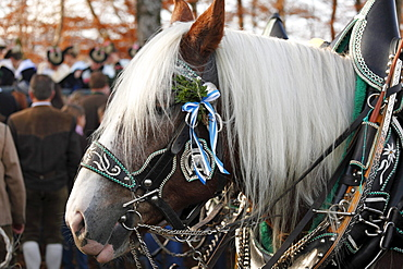 Portrait of a festively decorated horse, Leonhardi procession, Bad Toelz, Isarwinkel, Upper Bavaria, Bavaria, Germany, Europe