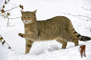 Wild Cat (Felis silvestris) in the snow, Bavarian Forest National Park, enclosed area, Neuschoenau, Bavaria, Germany, Europe
