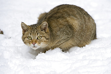 Wild Cat (Felis silvestris) in the snow, Bavarian Forest National Park, enclosed area, Neuschoenau, Bavaria, Germany, Europe