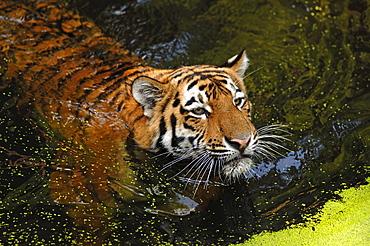 Siberian Tiger (Panthera tigris altaica), swimming in a moat, Tiergarten Nuernberg, Nuremburg Zoo, Nuremburg, Middle Franconia, Bavaria, Germany, Europe