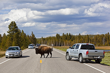 Cars and American Bison or American Buffalo (Bison bison) on the road, Yellowstone National Park, Wyoming, Idaho, Montana, America, United States