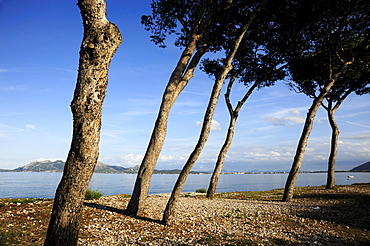 Conifer trees in the bay of Puerto de Pollensa, Port de Pollenca, Mallorca, Majorca, Balearic Islands, Mediterranean Sea, Spain, Europe