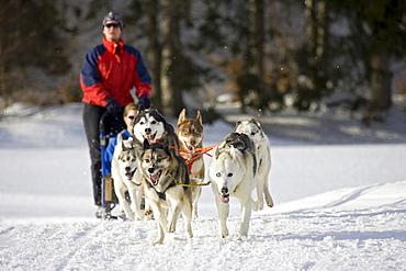 Dog sleigh, Wallgau International dog sleigh race, Bavaria, Germany, Europe