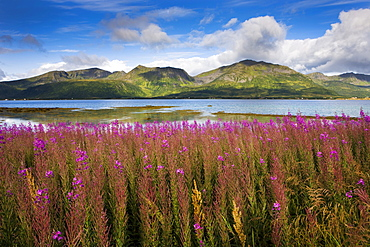 Willow herb, Risoysundet, island of Hinnoya Iinnasuolu, Vesteralen, Norway, Scandinavia, Europe