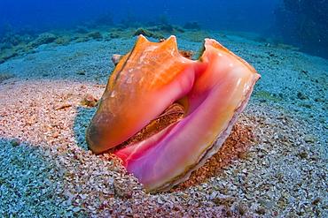 Queen Conch shell (Strombus gigas), Roatan, Honduras, Caribbean