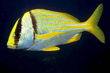 Atlantic Porkfish or Paragrate Grunt (Anisotremus virginicus), Caribbean, Americas