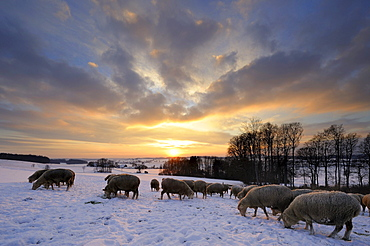 Winter landscape with herd of sheep at sunset, Mindelheim, Unterallgaeu, Bavaria, Germany, Europe