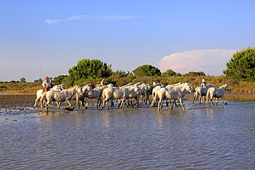 Camargue Horses (Equus caballus), some with people riding them, flamingos, Saintes-Marie-de-la-Mer, Camargue, France, Europe