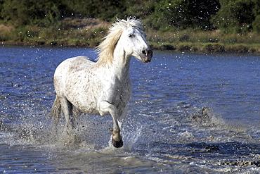 Camargue horse (Equus caballus), trotting through water, Saintes-Marie-de-la-Mer, Camargue, France, Europe