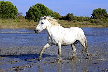 Camargue horse (Equus caballus), in water, Saintes-Marie-de-la-Mer, Camargue, France, Europe