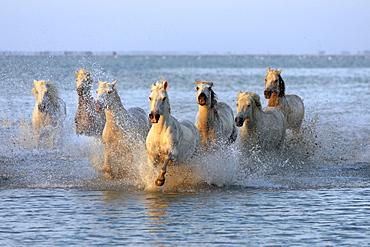 Camargue horses (Equus caballus), herd gallopping through water, evening mood, Saintes-Marie-de-la-Mer, Camargue, France, Europe