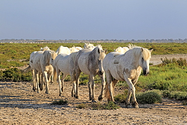 Camargue horses (Equus caballus), herd, Saintes-Marie-de-la-Mer, Camargue, France, Europe