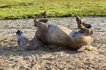 Camargue horse (Equus caballus), rolling around, taking a sand bath, Saintes-Marie-de-la-Mer, Camargue, France, Europe
