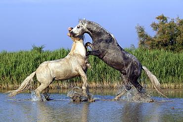 Camargue horses (Equus caballus) stallions fighting in water, Saintes-Marie-de-la-Mer, Camargue, France, Europe