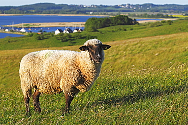 Sheep for landscape preservation on Moenchsgut Peninsula and Ruegischer Bodden in Southeast Ruegen Biosphere Reserve on the Baltic Sea coast, island of Ruegen, Mecklenburg-Western Pomerania, Germany, Europe