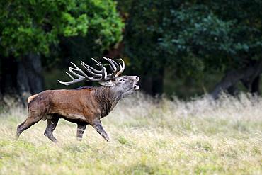 Red deer (Cervus elaphus), rutting stag roaring, Jaegersborg, Denmark, Scandinavia, Europe